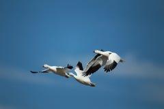 Tres gansos de ross en vuelo con un fondo del cielo azul Imagen de archivo