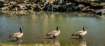 Tres gansos en fila Foto de archivo libre de regalías