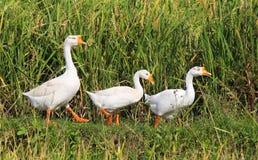 Tres gansos en una fila en un arroz colocan Imagen de archivo libre de regalías