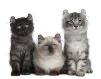 Tres gatitos americanos del enrollamiento, 3 meses Fotografía de archivo libre de regalías