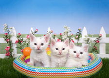Tres gatitos blancos en una piscina del explotar en jardín de flores del patio trasero Imagen de archivo
