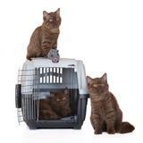 Tres gatitos británicos del shorthair con un cajón del animal doméstico Fotos de archivo libres de regalías