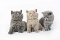 Tres gatitos británicos en blanco Fotos de archivo libres de regalías