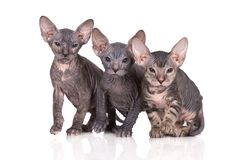 Tres gatitos del sphynx que presentan en blanco Foto de archivo