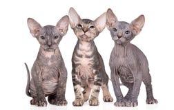 Tres gatitos del sphynx que presentan en blanco Fotografía de archivo