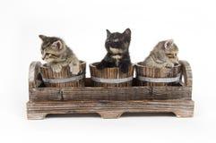 Tres gatitos en crisoles de flor Imágenes de archivo libres de regalías