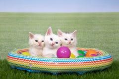 Tres gatitos en una piscina del explotar en el ajuste del patio trasero Foto de archivo libre de regalías