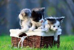 Tres gatitos que se sientan en cesta de mimbre en hierba verde Uno de ellos se lamió imagenes de archivo