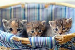 Tres gatitos rayados de tres semanas de viejo Fotografía de archivo libre de regalías