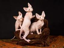 Tres gatitos sin pelo lindos de Sphynx en silla marrón Fotos de archivo libres de regalías