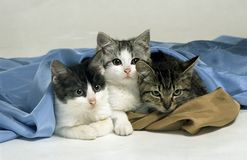Tres gatos Imagen de archivo libre de regalías