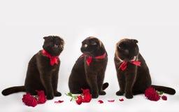 Tres gatos con las rosas rojas en un fondo blanco imagen de archivo