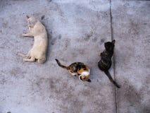 Tres gatos en la postura tres Fotografía de archivo