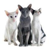 Tres gatos orientales Imágenes de archivo libres de regalías