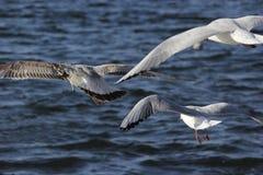 Tres gaviotas en vuelo Fotos de archivo