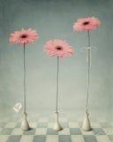 Tres Gerber en los floreros blancos. Foto de archivo libre de regalías