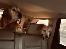 Tres golden retriever foto de archivo libre de regalías