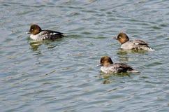 Tres Goldeneyes comunes que nadan en el lago foto de archivo libre de regalías