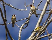 Tres goldfinchs en un árbol con un fondo azul imágenes de archivo libres de regalías