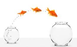 Tres goldfishes que saltan de pequeño a un tazón de fuente más grande Imagen de archivo libre de regalías