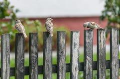 Tres gorriones en una cerca de madera Imágenes de archivo libres de regalías