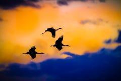 Tres grúas de Sandhill vuelan en silueta contra el cielo de la puesta del sol en Bosque, New México Fotografía de archivo