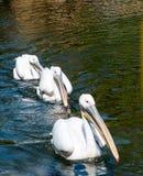 Tres grandes pelícanos blancos Imagen de archivo libre de regalías