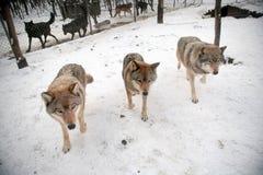 Tres grises wolfs Fotografía de archivo