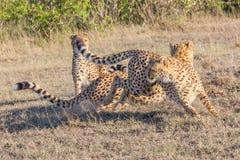 Tres guepardos, movimiento frenético, Masai Mara, Kenia Fotografía de archivo libre de regalías