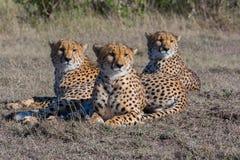 Tres guepardos que mienten en luz del sol temprana, Masai Mara, Kenia Imagen de archivo libre de regalías