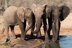 Tres hermanos, reserva de Balule, Suráfrica Foto de archivo