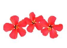 Tres hibiscos sobre blanco Fotografía de archivo libre de regalías