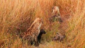 Tres hienas manchadas, Masai Mara almacen de metraje de vídeo