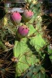 Tres higos chumbos, frutas de la Opuntia foto de archivo