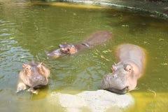Tres hipopótamos flotan en el río fangoso del color verde Foto de archivo