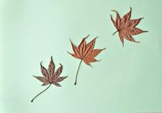 Tres hojas de arce secadas en fondo verde Imagenes de archivo