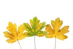 Tres hojas de Autumn Sycamore Imágenes de archivo libres de regalías