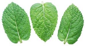 Tres hojas de la menta verde o de menta con agua caen en el backgro blanco foto de archivo libre de regalías
