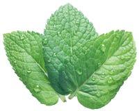 Tres hojas de la menta verde o de menta con agua caen en el backgro blanco fotos de archivo libres de regalías