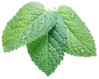 Tres hojas de la menta verde o de menta con agua caen en el backgro blanco imagenes de archivo