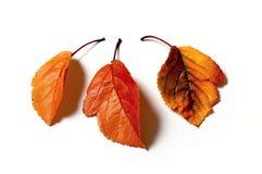 Tres hojas de otoño Fotos de archivo libres de regalías
