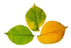 Tres hojas de otoño de alta resolución de árbol de olmo en blanco Imagen de archivo libre de regalías