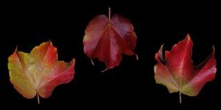 Tres hojas de otoño un mal Fotos de archivo