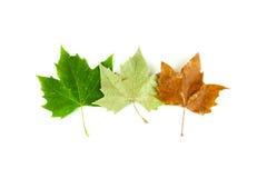 Tres hojas del árbol del sicómoro muestran el paso de las estaciones Fotografía de archivo