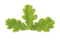 Tres hojas del roble Imagenes de archivo