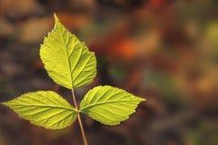 Tres hojas verdes Foto de archivo libre de regalías