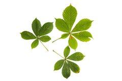 Tres hojas verdes de árbol de castaña aisladas en blanco Foto de archivo