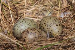 Tres huevos de la gaviota en una jerarquía foto de archivo libre de regalías