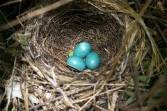 Tres huevos del Catbird imagenes de archivo