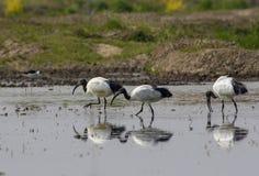 Tres Ibis sagrado reflejado en agua Foto de archivo